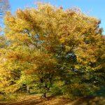 Japanese Elm early Autumn