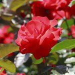Rose-Europeana