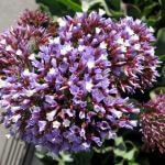 Limonium perezii Sea Lavender flowers
