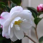 Camellia Pure Silk