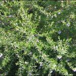 Westringia Coastal Rosemary