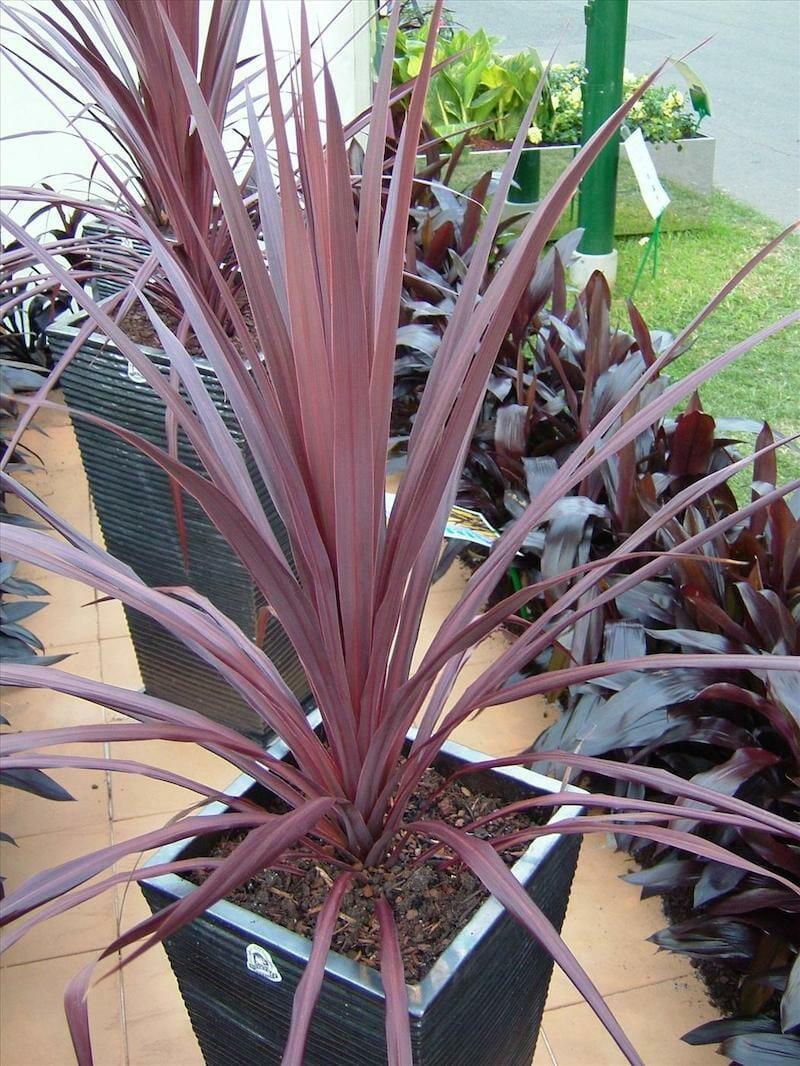 Cordyline black knight 8 pot hello hello plants for Yucca exterieur
