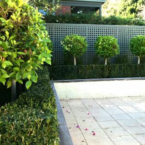 Standard Ficus @ Hello Hello Plants