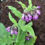 Comfrey @ Hello Hello Plants