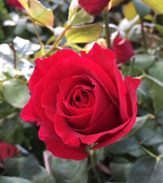 Hello hello plants Hybrid tea rose 'Mr Lincoln'